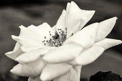 Wilde rosafarbene Blume Lizenzfreie Stockfotos