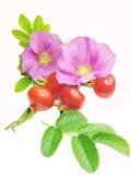 Wilde rosafarbene Blumen und rote Hüftebeeren für Tee Lizenzfreie Stockfotos