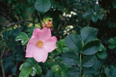 Wilde Rose stockfoto