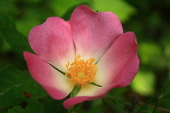 Wilde Rose Stockbilder