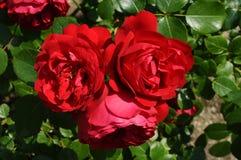 Wilde Rose Stockfotografie