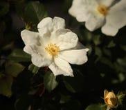 Wilde Rose Stockbilder