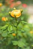 Wilde Rose Blooms Lizenzfreies Stockbild