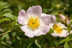 Wilde Rose Rosa-canina met open bloemblaadjes in de lente royalty-vrije stock afbeeldingen
