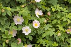 Wilde Rose Rosa-canina met open bloemblaadjes in de lente stock afbeelding