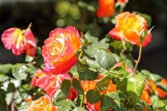 Wilde Rosen auf dem Bürgersteig stockbild