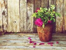 Wilde Rosen auf einem rustikalen hölzernen Hintergrund. Stockbild