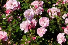 Wilde Rosenbusch mit rosa Blumen und dunkelgrünen Blättern lizenzfreie stockbilder