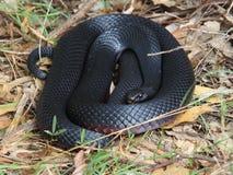 Wilde Rot-aufgeblähte schwarze Schlange gewunden Lizenzfreies Stockbild