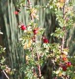 Wilde rote Beeren auf einem Busch Stockbild