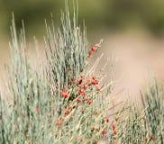 Wilde rote Beeren auf einem Busch Stockfoto