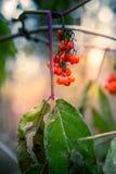 Wilde rote Holunderbeeren Stockfotografie