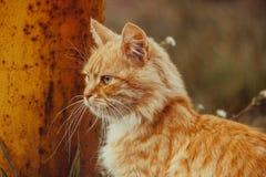 Wilde rote Katzenentdeckung etwas zu essen Stockfoto