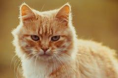 Wilde rote Katzenentdeckung etwas zu essen Stockbild
