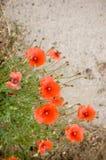 Wilde rote Mohnblume Stockfotos