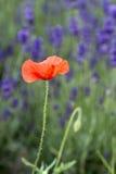 Wilde rote Mohnblume Stockbild