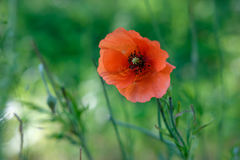 Wilde rote Mohnblume Stockfoto
