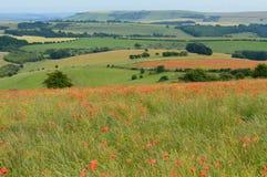 Wilde rote Mohnblume blüht auf den Sussex-Südabstiegen Stockfotografie