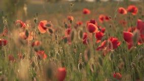 Wilde rote Mohnblumen blühen auf dem Gebiet, Abschluss oben stock video footage