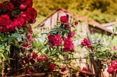 Wilde rote Rosen Lizenzfreie Stockbilder