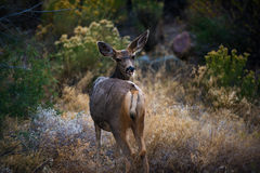 Wilde Rotwild, die in Richtung der Kamera Colorado-wild lebenden Tiere blicken Lizenzfreies Stockbild