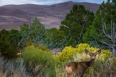 Wilde Rotwild, die in Richtung der Kamera Colorado-wild lebenden Tiere blicken Stockbild