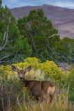 Wilde Rotwild, die in Richtung der Kamera Colorado-wild lebenden Tiere blicken Lizenzfreie Stockfotografie