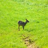Wilde Rotwild lassen auf einem Ackerland weiden Lizenzfreies Stockfoto