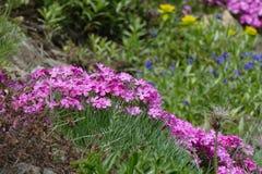 Wilde roze bergbloesems Royalty-vrije Stock Afbeelding