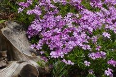 Wilde roze bergbloesems Stock Foto
