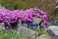 Wilde roze bergbloesems Royalty-vrije Stock Fotografie