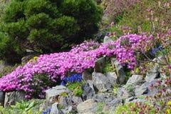 Wilde roze bergbloesems Stock Afbeelding