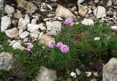 Wilde roze bloem Royalty-vrije Stock Afbeelding