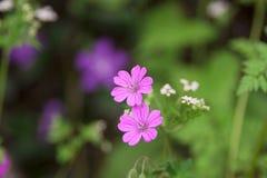 Wilde roze bloemen Royalty-vrije Stock Foto's