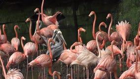 Wilde Roze Flamingo's in Aard stock video
