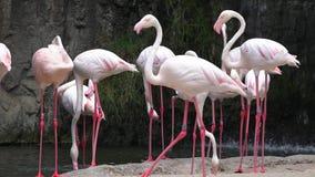 Wilde Roze Flamingo's bij Natuurreservaat stock footage
