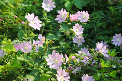 Wilde roze malve royalty-vrije stock afbeelding