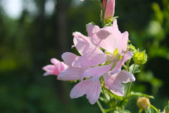 Wilde roze malve royalty-vrije stock foto's