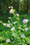 Wilde roze malve royalty-vrije stock afbeeldingen