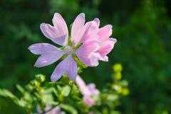 Wilde roze malve royalty-vrije stock foto