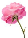Wilde roze nam toe Stock Fotografie