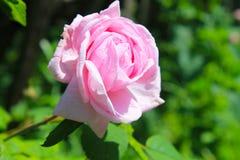 Wilde roze nam toe royalty-vrije stock afbeeldingen