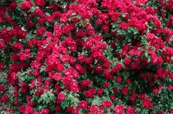 Wilde roze rozenachtergrond Mooie decoratie op groene muuromheining Stock Foto's