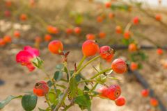 Wilde rozebottels stock afbeelding