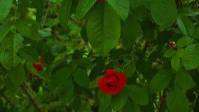 Wilde rozen op de struik stock video