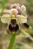 Wilde Sägewespen-Orchideenblumennahaufnahme - Ophrys tenthredinifera Lizenzfreies Stockfoto