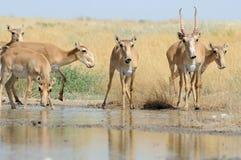 Wilde Saiga-Antilopen nahe der Wasserentnahmestelle in der Steppe Stockfotografie