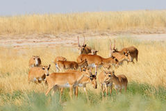Wilde Saiga-Antilopenherde in Kalmückien-Steppe Stockfotos