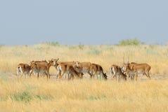 Wilde Saiga-Antilopenherde in Kalmückien-Steppe Stockfotografie