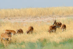 Wilde Saiga-Antilopenherde in Kalmückien-Steppe Lizenzfreie Stockfotos